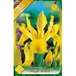Iris hollandica Royal Yellow