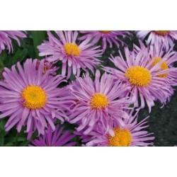 "Aster alpinus ""Violet"""