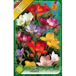 Frezia cu flori simple mix