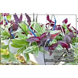 Tradescantia mix 3 plante