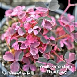 Oxalis vulcanicola Plum Crazy