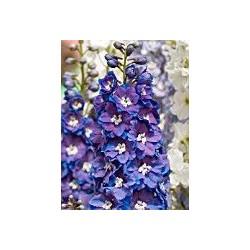 """Delphinium x cultorum Guardian F1 """"Blue"""""""