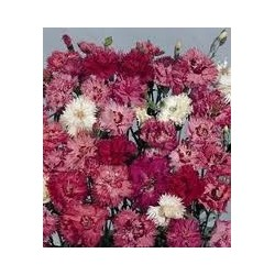 Dianthus plumarius Double Spring Joy mix