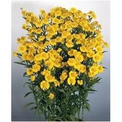 """Helenium autumnale """"Helena Gold"""""""