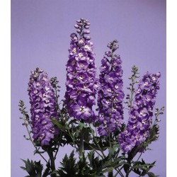 "Delphinium x cultorum ""Magic Fountain Lavender-white"""
