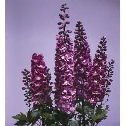 "Delphinium x cultorum ""Magic Fountain Lilac-white"""