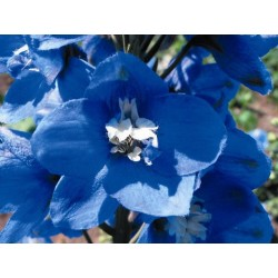 "Delphinium x cultorum ""Magic Fountain Mid-Blue-white"""