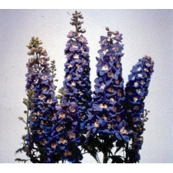 "Delphinium x cultorum ""Magic Fountain Sky-blue-white"""