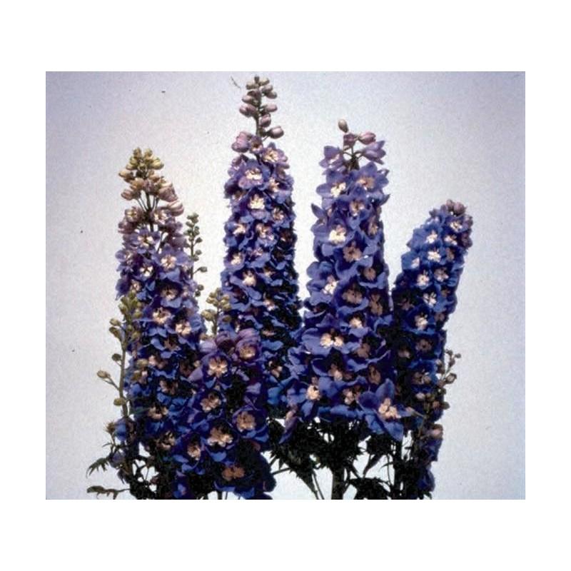 """Delphinium x cultorum """"Magic Fountain Sky-blue-white"""""""