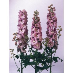 "Delphinium x cultorum ""Magic Fountain Cherry-white"""