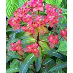 """Euphorbia griffithii """"Fireglow"""""""