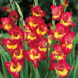 Gladiole bulbi Far West - 7 bulbi