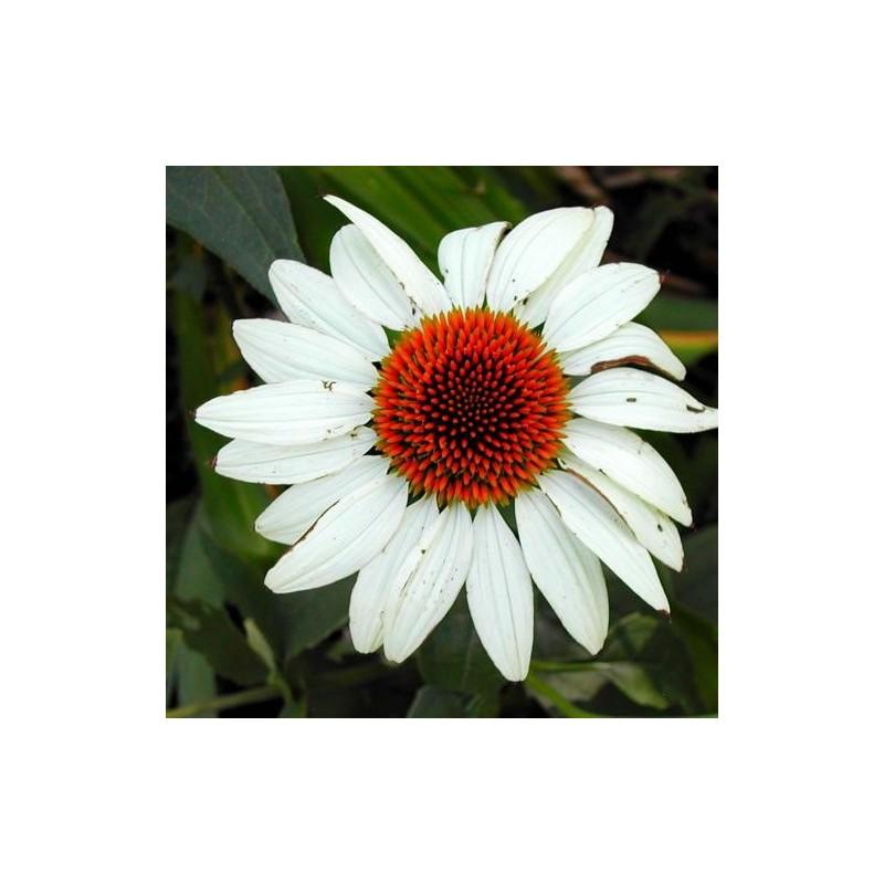 "Echinaceea purpurea ""White Swan"""