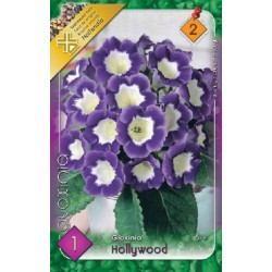 Gloxinia Hollywood - 1 bulb KM