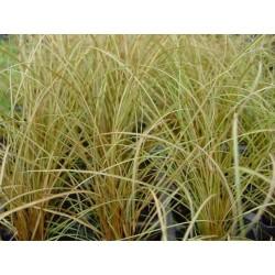 Carex flagellifera Bronzita G-7