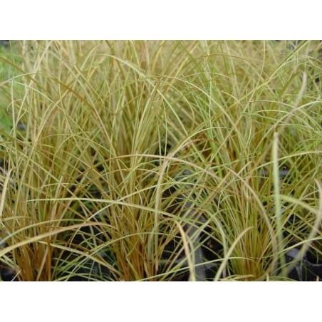 Carex flagellifera Bronzita G-9