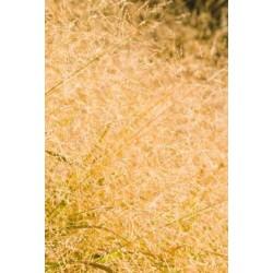 Deschampsia caespitosa - Pack de 10 plante