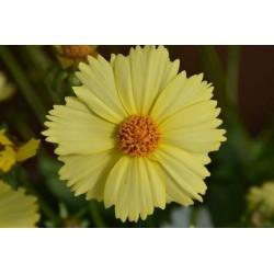 Coreopsis grandiflora Solanna Glow G-9