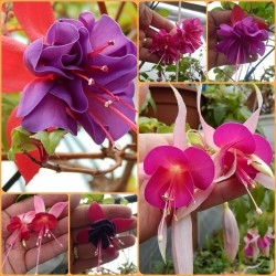 Pachet Fuchsia 12 plante