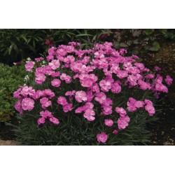 Dianthus hybrida Dinetta Pink G-9