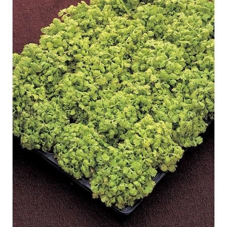 Tanacetum parthenium Aureum G-9