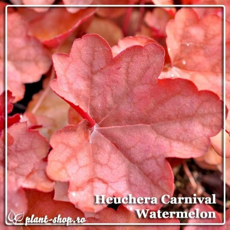 Heuchera Carnival Watermelon G-9