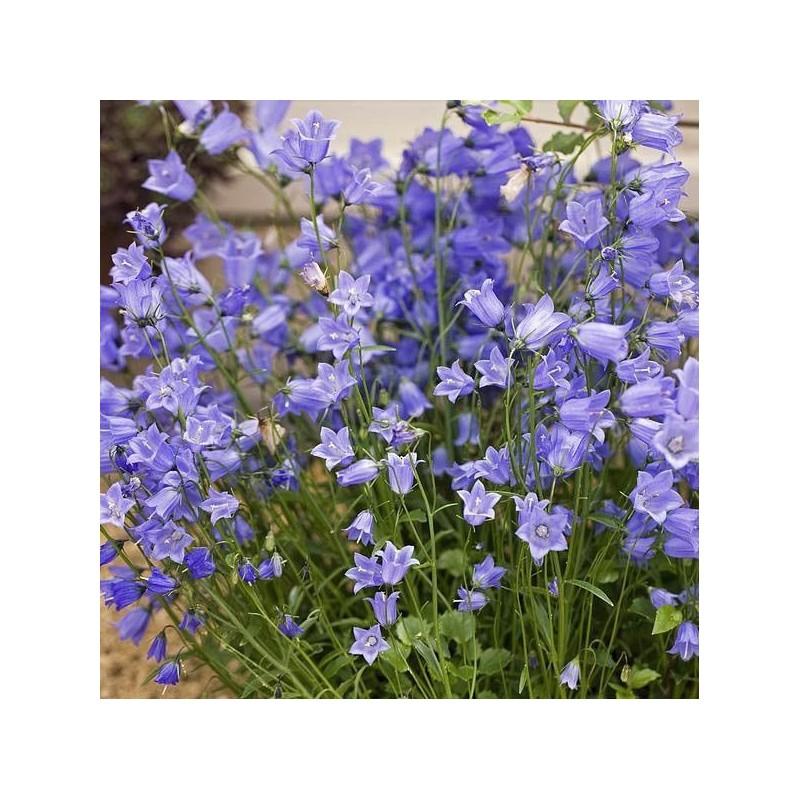 Campanula cochlearifolia Jingle Blue G-9