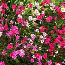 Dianthus deltoides Mix G-9