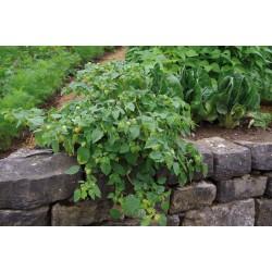 Pachet Physalis pruinosa Preciosa - 9 plante