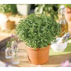 Ocimum basilicum Green Sensation G-9
