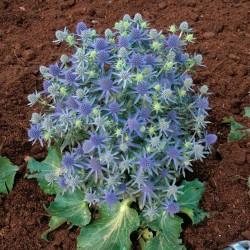 """Eryngium planum """"Blue Hobbit"""""""