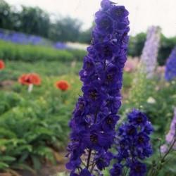 Pachet nemtisor inalt peren mix de culori - 9 plante