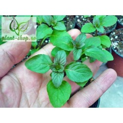 Mentha piperita citrata Lemon Fresh G-9