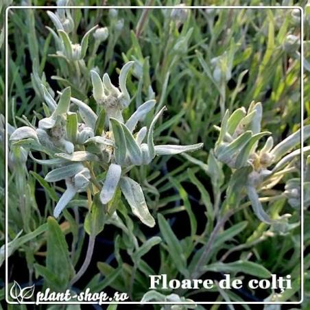 Floare de colţi - Leontopodium alpinum G-10