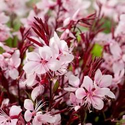 Gaura lindheimeri Gaudi Pink