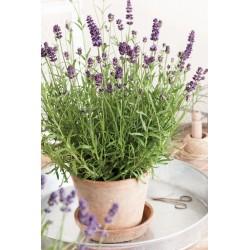 Lavandula angustifolia Valence Dark Violet G-9