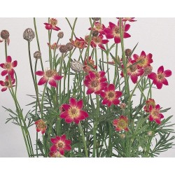 Anemone multifida Annabella Deep Rose G-9