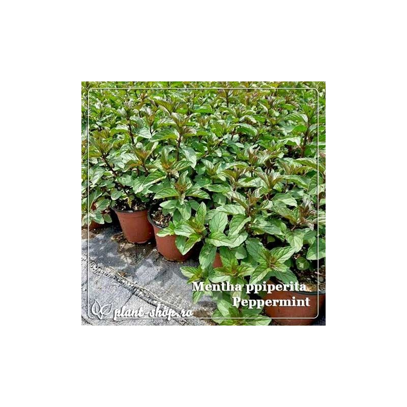 Mentha piperita Peppermint G-9
