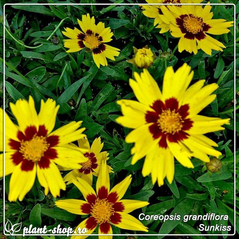 Coreopsis grandiflora Sunkiss G-9