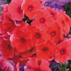 Phlox paniculata Adessa Orange G-9