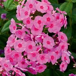 Phlox paniculata Adessa Rose Eye G-9