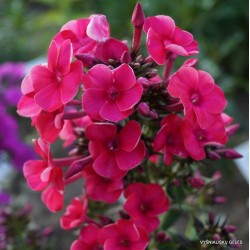 Phlox paniculata Adessa Red G-9