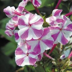 Phlox paniculata Adessa Special Lilac Twist G-9