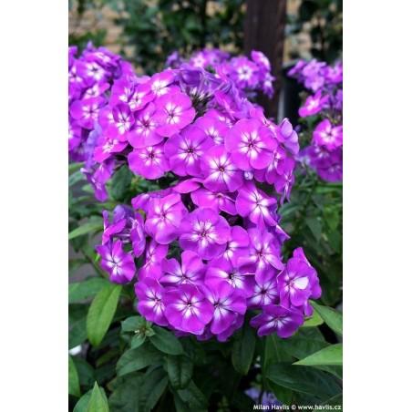 Phlox paniculata Adessa Special Purple Star G-9
