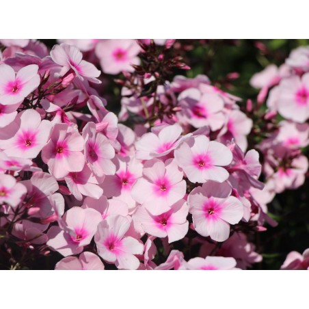 Phlox paniculata Bright Eyes G-9