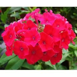 Phlox paniculata Red Riding Hood G-9