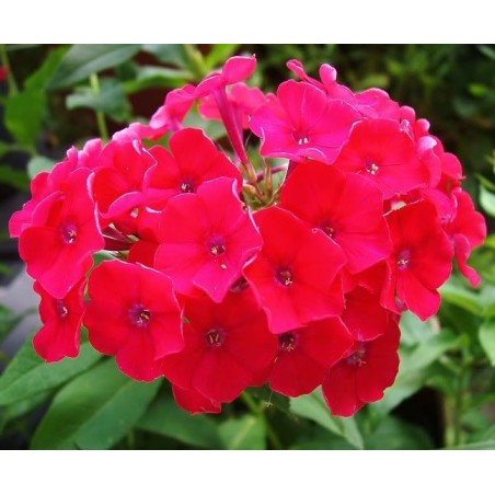Phlox paniculata Red Riding Hood G-9