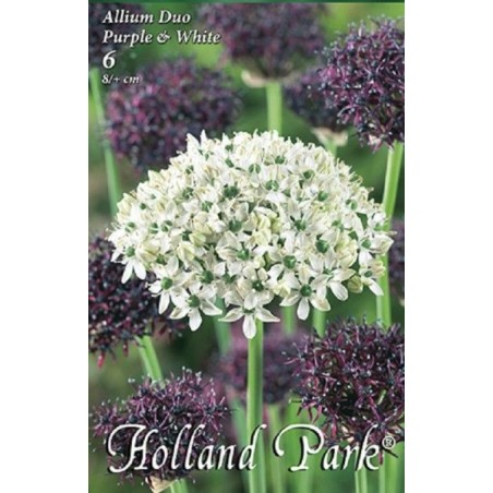 Allium Duo Purple & White - 6 bulbi KM