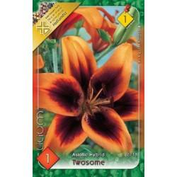 Lilium asiatic Twosome - 1 bulb KM