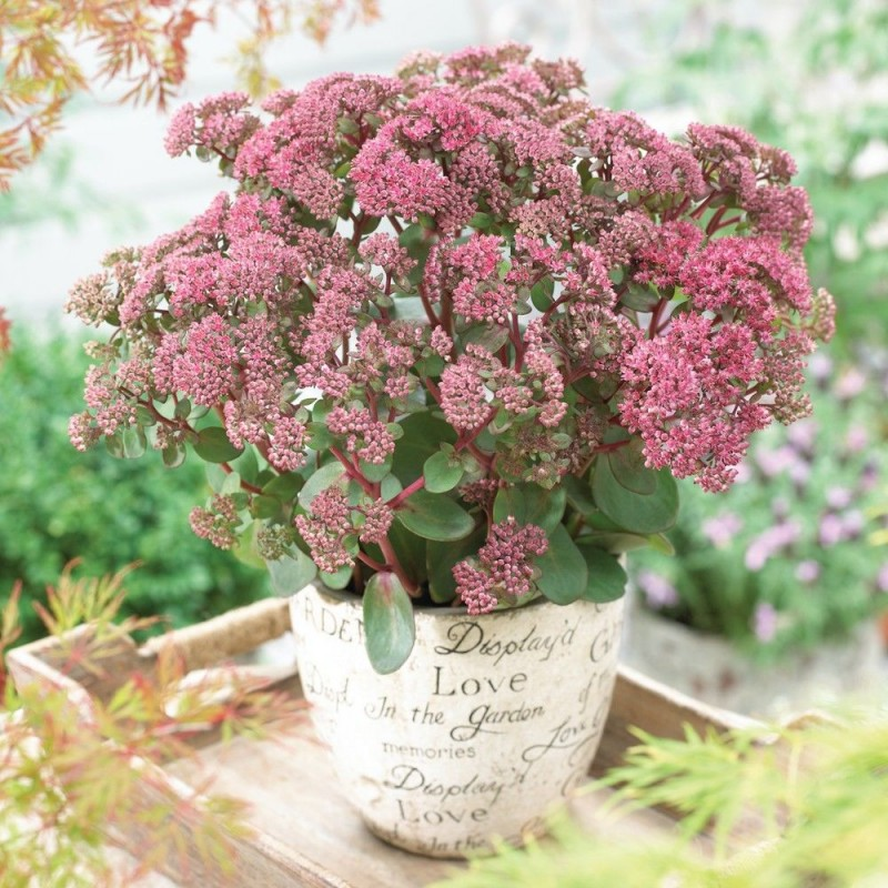 Sedum telephium Seduction Green-Pink G-9